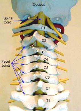 Cervical-facet-joints-posterior-view-copy.jpg